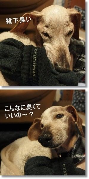 $チョビ只今16歳♪  Mダックスのおばあちゃんワンコ☆