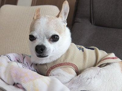 へにょへにょ日記[スムースチワワ写真ブログ]-20130731チワワの小太郎
