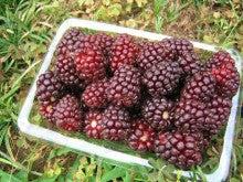 館林ボイセンベリーのブログ-収穫体験06