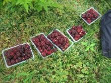 館林ボイセンベリーのブログ-収穫体験04
