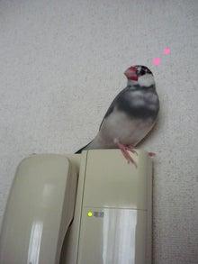 文鳥 ぴこじ&ハッチ日記