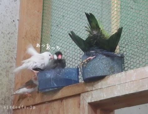 ようこそ!とりみカフェ!!~鳥カフェでの出来事や鳥写真~-水浴びぶんちょ♪