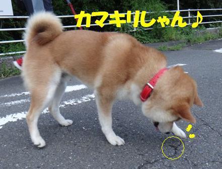 柴犬ジンのブログ-7