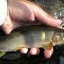 今日の鮎釣り