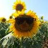 向日葵成長記の画像