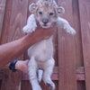 赤ちゃんライオン公開中!の画像