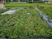 耕作放棄地を剣先スコップで畑に開拓!有機肥料を使い農薬無しで野菜を栽培する週2日の農作業記録 byウッチー-130819苗取用サツマイモ0422植初収穫終了01