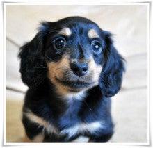 $*Angel Maje Kennel* Puppy-2013.06.30 ブラタンちゃん