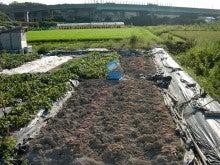 耕作放棄地を剣先スコップで畑に開拓!有機肥料を使い農薬無しで野菜を栽培する週2日の農作業記録 byウッチー-130819鳴門金時0430定植0617定植初収穫05