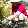 『横須賀の田んぼで稲刈り』の画像