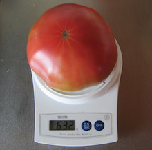 pepeのブログ-巨大トマト