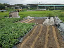 耕作放棄地を剣先スコップで畑に開拓!有機肥料を使い農薬無しで野菜を栽培する週2日の農作業記録 byウッチー-130902ウッチー式・今日の農作業の出来栄え05