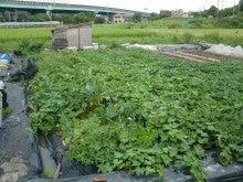耕作放棄地を剣先スコップで畑に開拓!有機肥料を使い農薬無しで野菜を栽培する週2日の農作業記録 byウッチー-130903ウッチー式・今日の農作業の出来栄え04