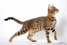 $ベンガル猫に一目惚れ♪