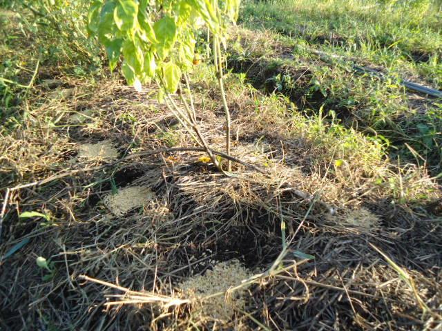 $はるもにあの畑-トマトの下の大根