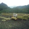 ∵ 稲刈り一日目の画像