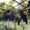 ブドウの収穫の画像