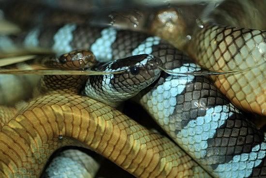 ウミヘビ エラブ