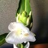 ホワイトジンジャーの香りの画像