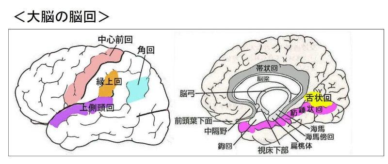 「舌状回」の画像検索結果