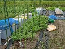 耕作放棄地を剣先スコップで畑に開拓!有機肥料を使い農薬無しで野菜を栽培する週2日の農作業記録 byウッチー-130916ミニトマト0611蒔き0701定植栽培終了02