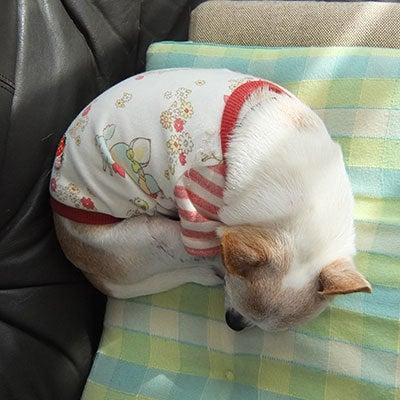 へにょへにょ日記[スムースチワワ写真ブログ]-20130921チワワの小太郎