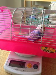 小鳥日和-体重測定2