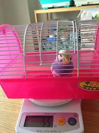小鳥日和-体重測定3
