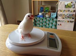 小鳥日和-体重測定1