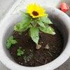 遅咲きの向日葵の画像