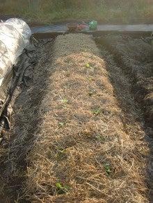 耕作放棄地を剣先スコップで畑に開拓!有機肥料を使い農薬無しで野菜を栽培する週2日の農作業記録 byウッチー-130924キャベツ彩音0827蒔き第3陣目定植05