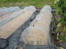 耕作放棄地を剣先スコップで畑に開拓!有機肥料を使い農薬無しで野菜を栽培する週2日の農作業記録 byウッチー-130924キャベツ彩音0827蒔き第3陣目定植11