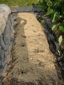 耕作放棄地を剣先スコップで畑に開拓!有機肥料を使い農薬無しで野菜を栽培する週2日の農作業記録 byウッチー-130924キャベツ彩音0827蒔き第3陣目定植10