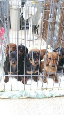 新潟の 犬のシャンプーアベは ダックスフントの専門ブリーダーです