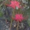 9月27日  世尊寺(吉野郡大淀町)の彼岸花の画像