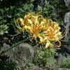 9月27日  岡寺の黄色の彼岸花の画像