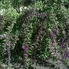 9月27日  橘寺の紫式部と彼岸花の画像