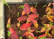 pepeのブログ-ブルーベリー挿し木