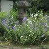 7月16日  白毫寺の桔梗の花の画像