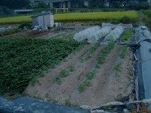 耕作放棄地を剣先スコップで畑に開拓!有機肥料を使い農薬無しで野菜を栽培する週2日の農作業記録 byウッチー-130930ウッチー式・今日の農作業の出来栄え03