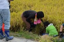 浄土宗災害復興福島事務所のブログ-2013100506ふくスマ稲刈り⑧稲刈り