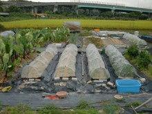 耕作放棄地を剣先スコップで畑に開拓!有機肥料を使い農薬無しで野菜を栽培する週2日の農作業記録 byウッチー-131008ウッチー式・今日の農作業の出来栄え02