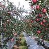 * 今日は母と一緒にいつものりんごやさんへの画像