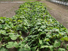 時期 サツマイモ 収穫