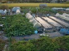 耕作放棄地を剣先スコップで畑に開拓!有機肥料を使い農薬無しで野菜を栽培する週2日の農作業記録 byウッチー-131028ウッチー式・今日の農作業の出来栄え01