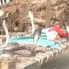 ▼唸声インド映像/赤ん坊を守る4匹のコブラの画像