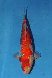 谷口鯉のブログ-DSC_2488.JPG