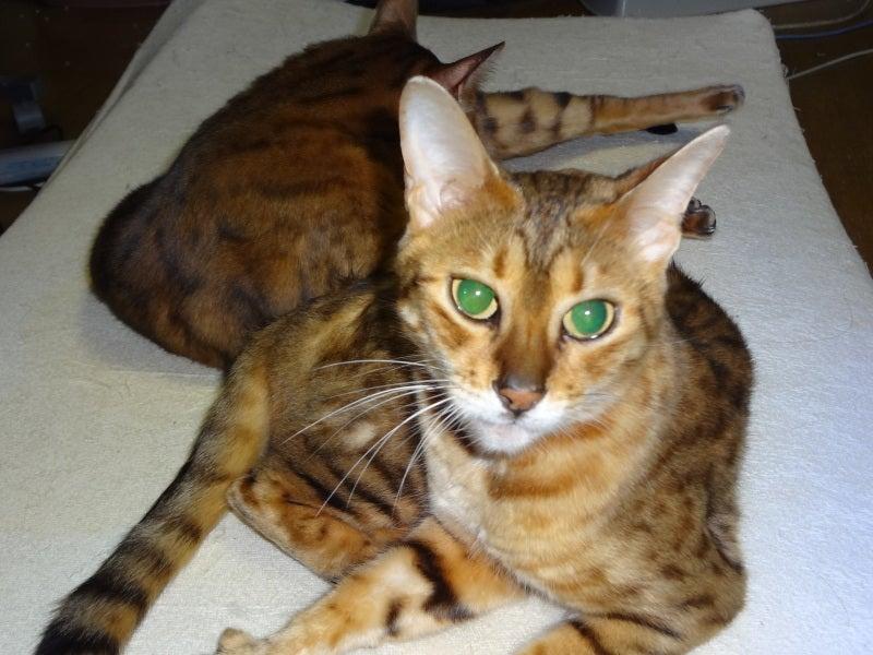 ベンガル猫トンチキ♂着物とバラの愛の生活