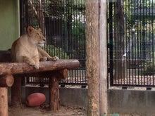 とろとろひとりごと-ライオン