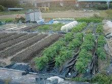 耕作放棄地を剣先スコップで畑に開拓!有機肥料を使い農薬無しで野菜を栽培する週2日の農作業記録 byウッチー-131112ウッチー式・今日の農作業の出来栄え05